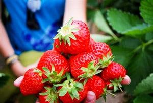 Aardbeien in Noord Thailand